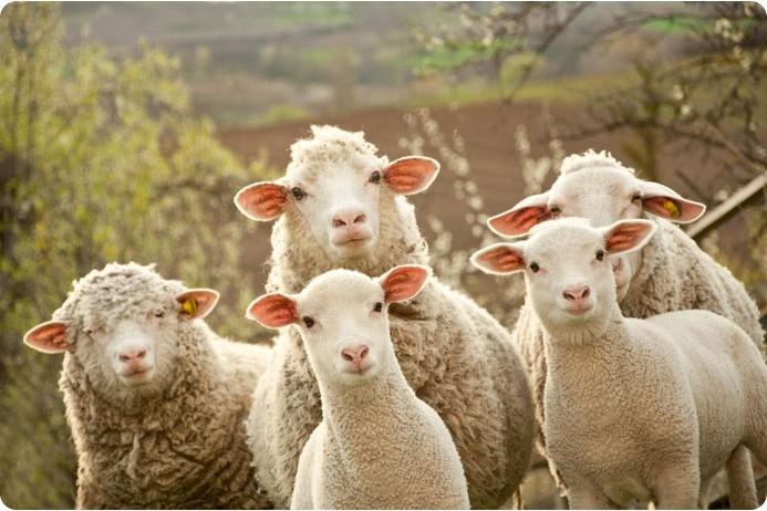Полезные свойства шерсти овец
