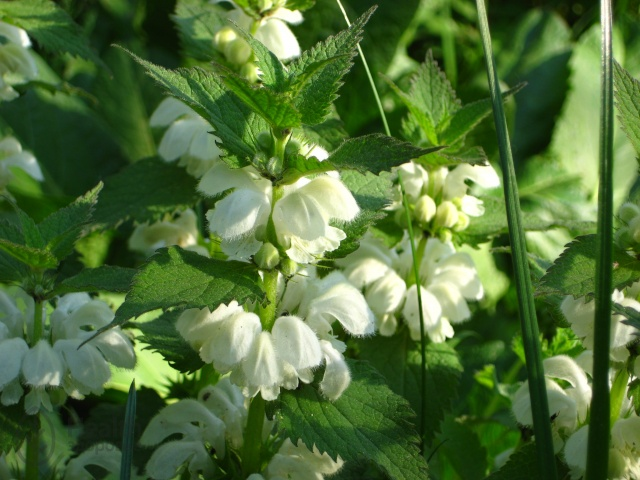 Яснотка белая и ее лечебные свойства