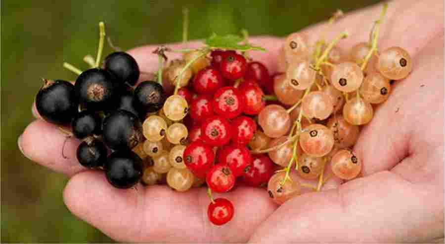 Красная и белая смородина вместо больниц и аптек: ягоды-клад!