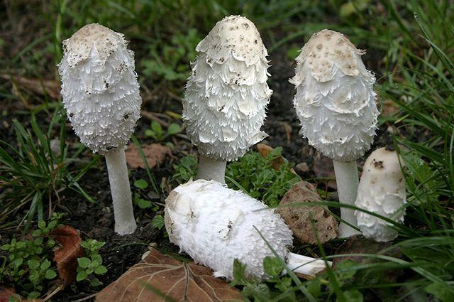 Как действуют на организм ядовитые грибы