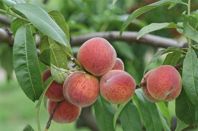 Кому нельзя есть персики