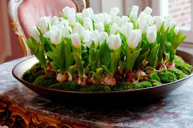 Как вырастить тюльпаны, нарциссы, гиацинты и заставить их цвести.