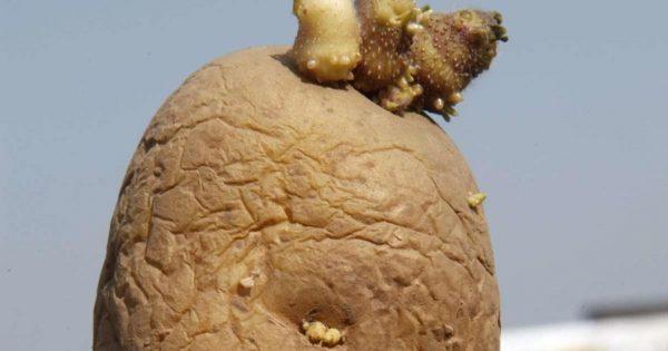 Предупреждение! Не ешь такой картофель, в нём яды.