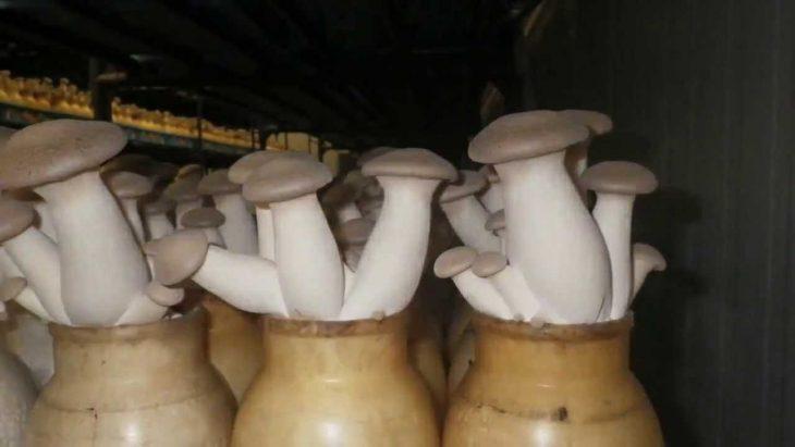 Белые грибы растут прямо на подоконнике! Захотел — добавил в суп, захотел — в картошку!