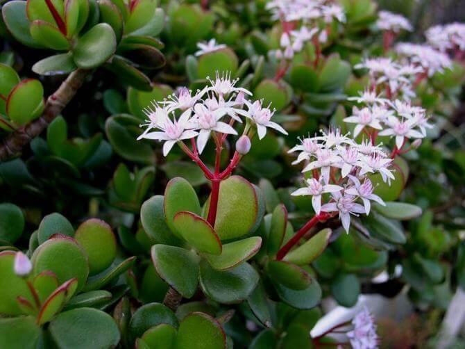 Раскрываем секрет: Как добиться цветения денежного дерева