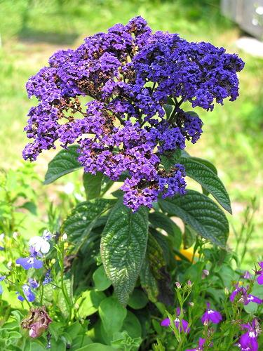 Этот цветок не только красив, но и приятно пахнет ванилью